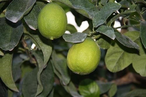 зеленстрой лимон