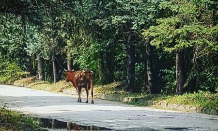 корова, дорога