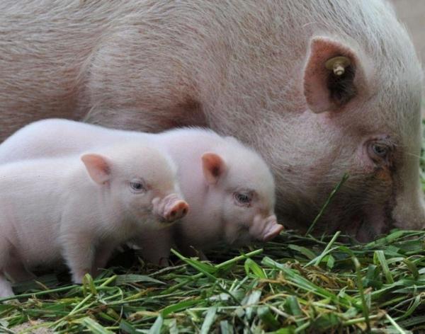 поросята, свинья, АЧС