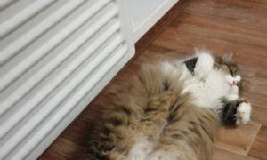 кот, отопительный сезон, батарея, тепло