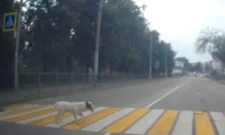 идеальный пешеход, собака
