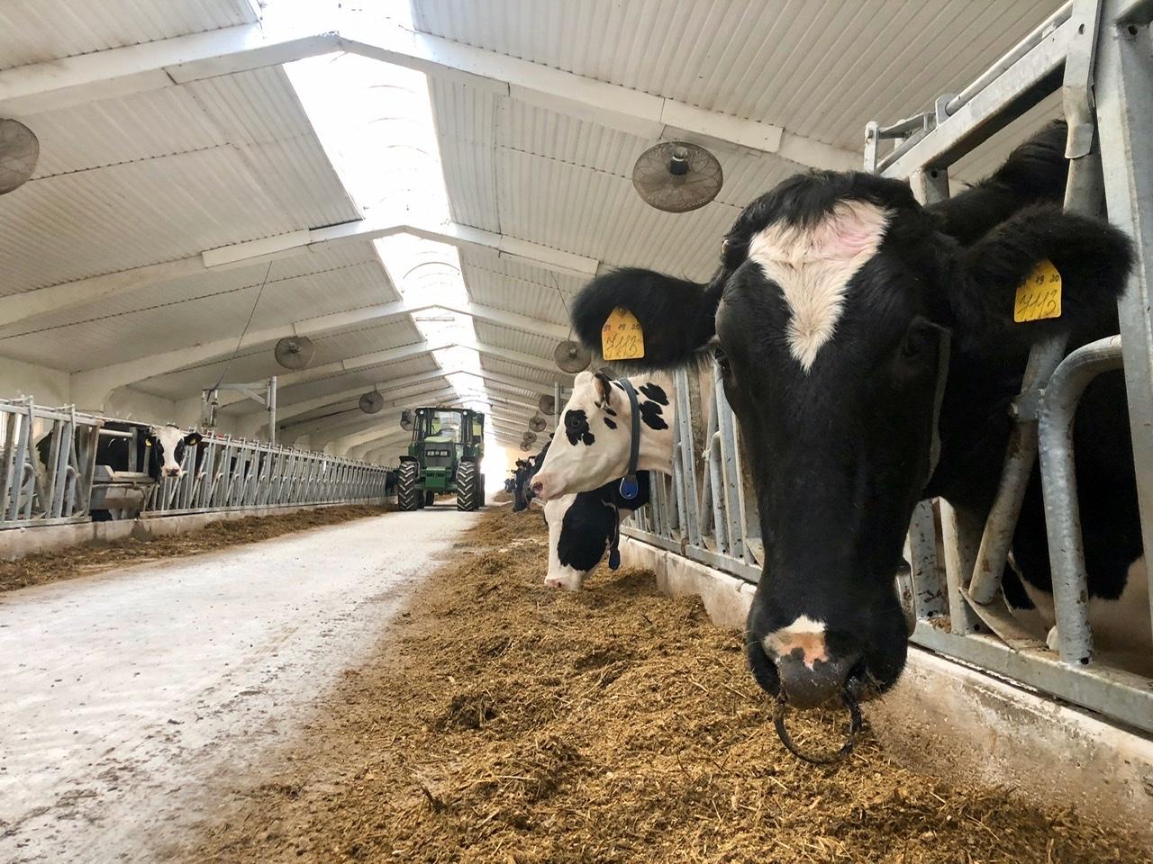 крс, коровы, молочная ферма, сельское хозяйство, экономика